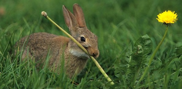 Rabbit-feeding-on-dandelion