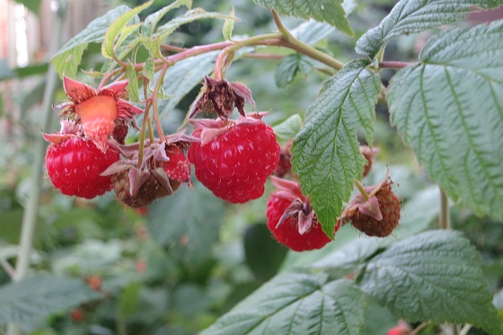 raspberry 001